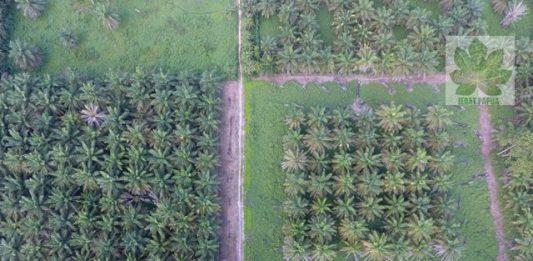 Lahan Sawit di Papua , Kejahatan Lingkungan yang Tidak terkontrol (Foto : Jeratpapu.org )